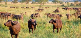 Cape Buffaloes in Kidepo