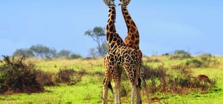 10 Days Best Of Uganda Safaris Tours