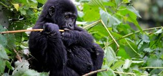 2 Days Gorilla trekking from Kigali
