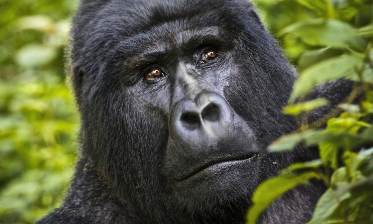 3 Days Gorilla Trekking from Kigali