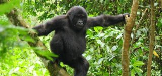 7 days Kibale Queen and Bwindi safari