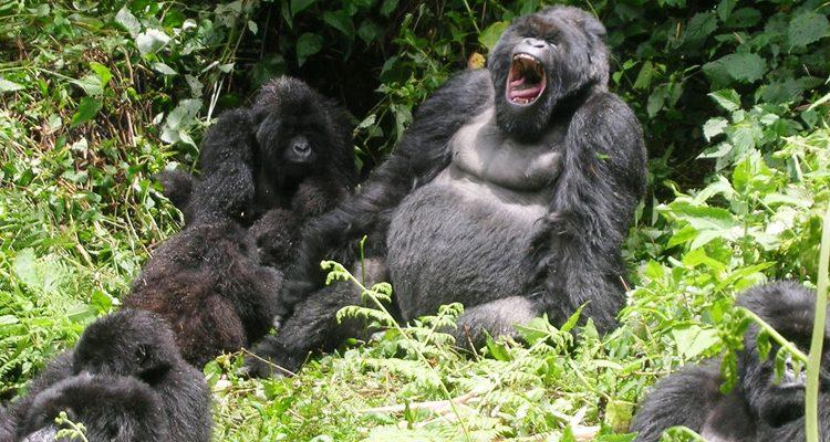 Uganda Gorilla trekking tour from Kigali