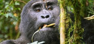 3 Days Bwindi Gorilla Habituation Experience
