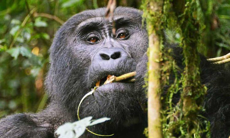 3 Days Bwindi Gorilla Habituation Experience