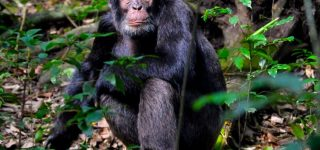 3 Days Kibale Chimpanzee Trekking Safari