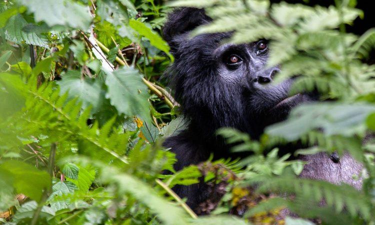 3 Days Uganda Gorilla Trekking Tour