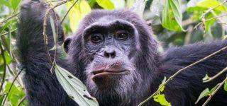 Chimpanzee Trekking in Kibale National Park