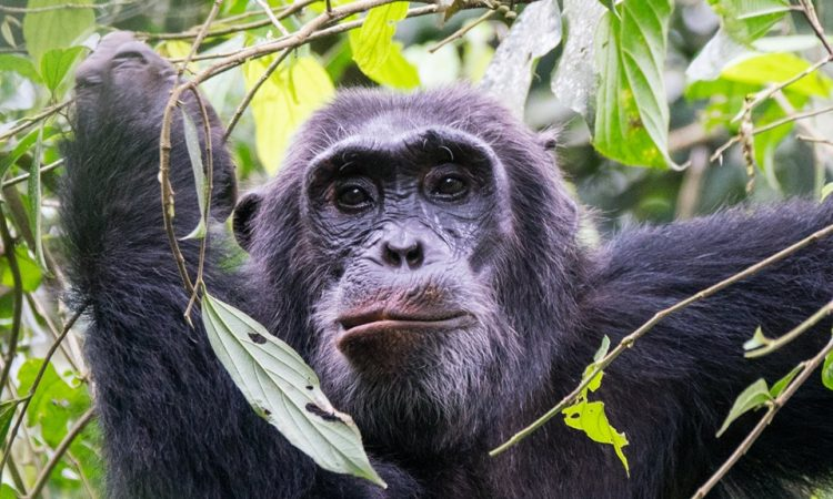 Chimpanzee Trekking in Kibale National Park